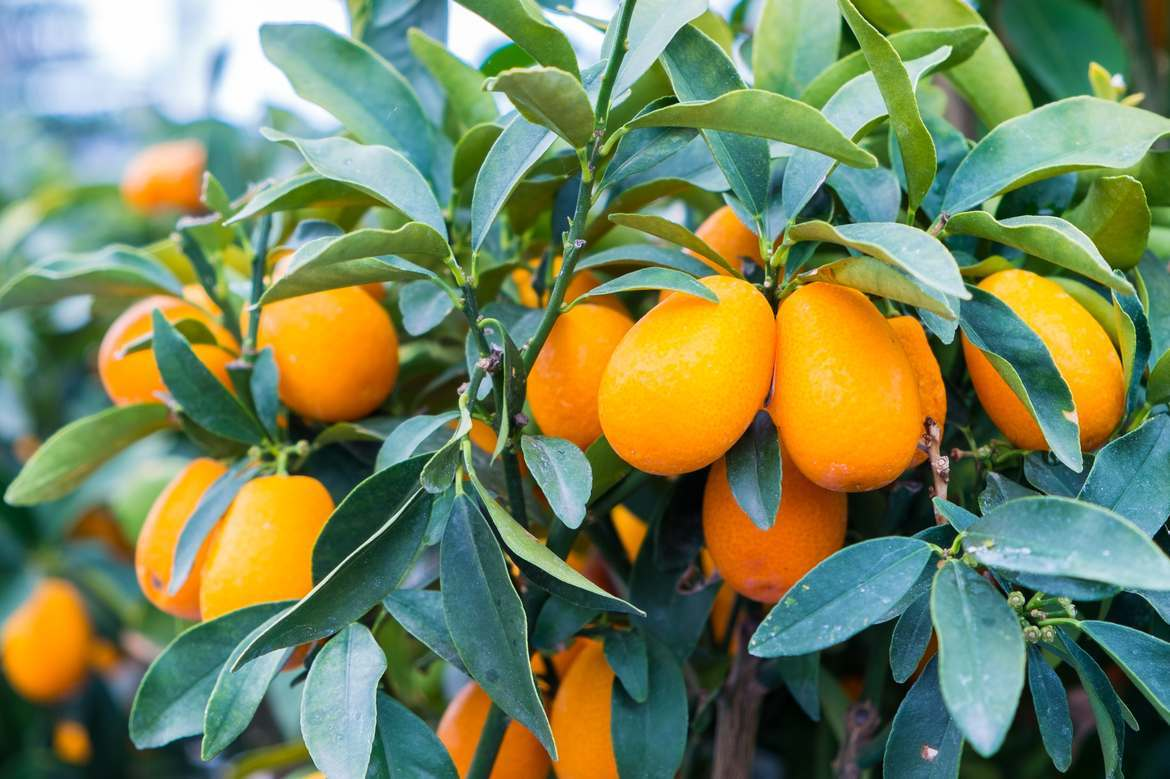 Featured introduction-Kumquat