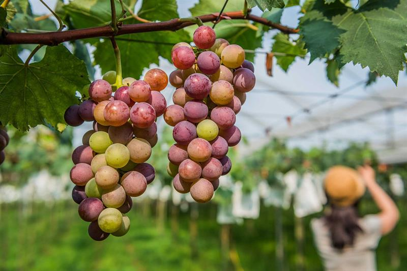 Wine Expert Studied in Germany Showing How to Pick Fruits and Taste Wine