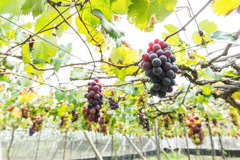 Overseas Visitors' Favorite   Grapes are Large and Sweet