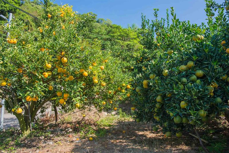 Let's Visit the Home to Citrus and Flower Sea in the Mountainous Area in Taichung